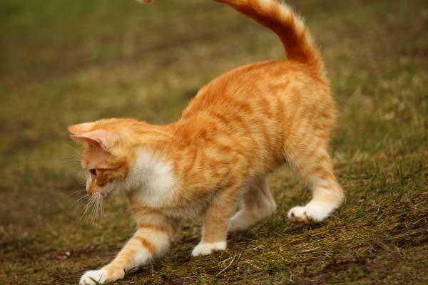 кошка играется