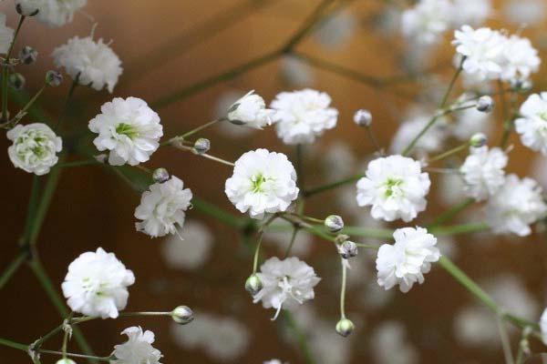 Гипсофила, дыхание ребенка цветы