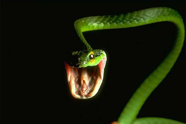 Зеленая змея раскрыла пасть