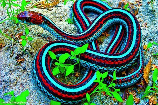 Пестрая змея