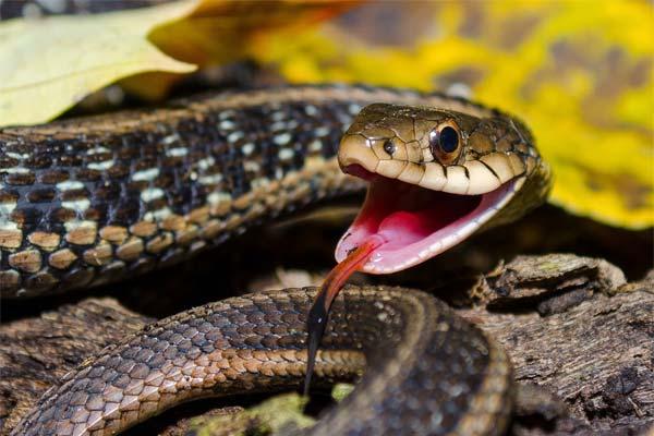Коричневая пестрая змея