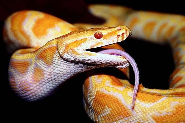 Пятнистая желто-рыжая змея в ромбиках
