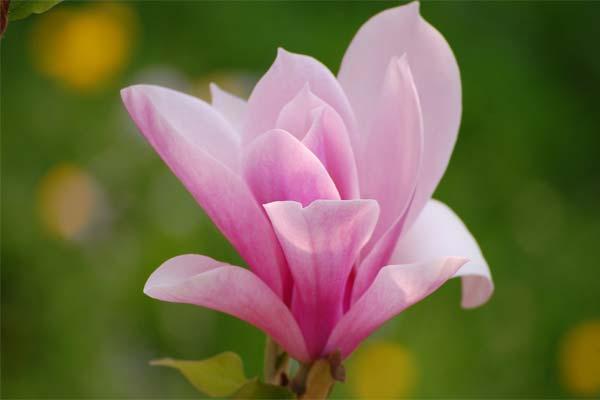 Магнолия - цветок чистоты и прелести