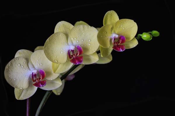 Кремово-белая орхидея