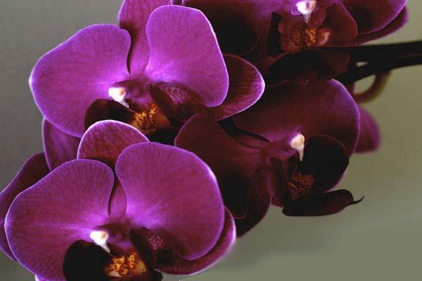 Фиолетовая или лавандовая орхидея