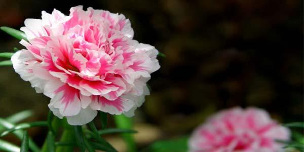 Розовая гвоздика - значение, символизм