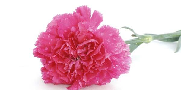 Розовая гвоздика значение