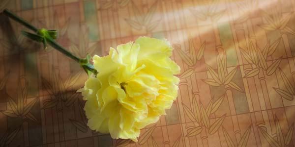 Желтая гвоздика что означает