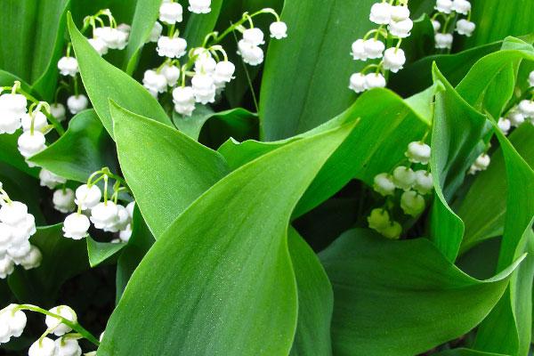 Белые цветы с широкими листьями
