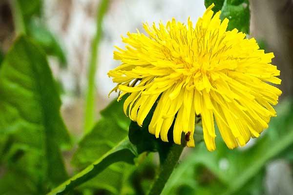 одуванчик цветущий
