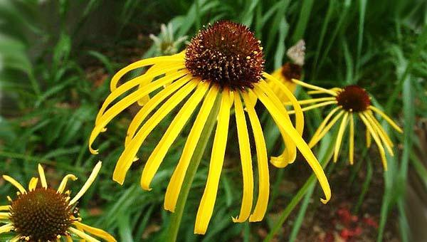 Желтый конус цветок