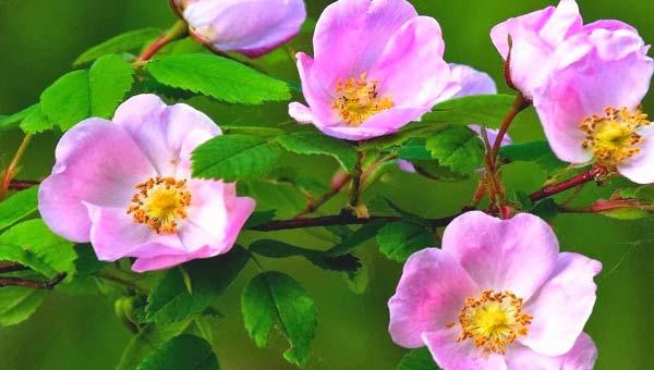 Цветок чайной розы