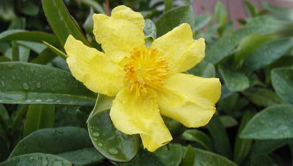 Желтый цветок гиббертия лазающая