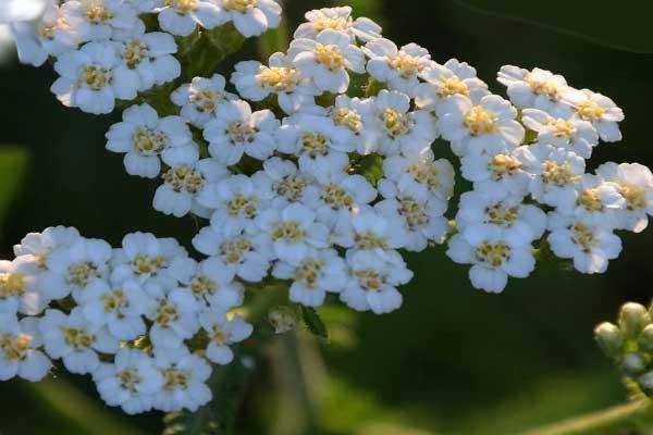 Белые соцветия