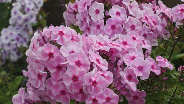 Флоксы розовые