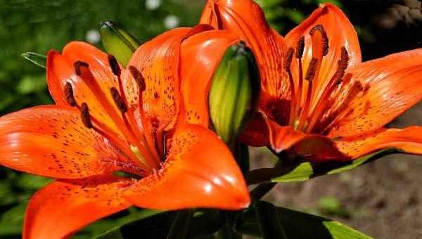 Тигровые лилии оранжевые пятнистые фото