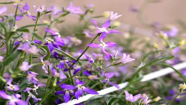 Маттиола душистая садовая фиолетовая