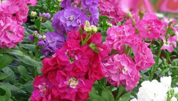 Махровый левкой садовый фиолетовый, красный, розовый