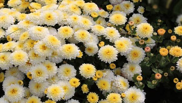 Корейские хризантемы мелкоцветные