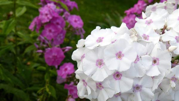 Белые и розовые флоксы