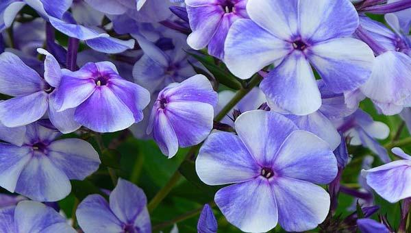 Синий аромат цветов