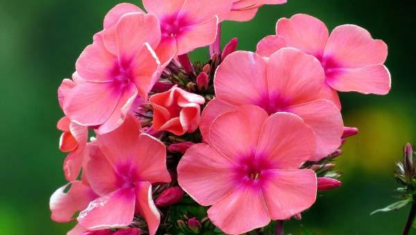 Розовая прелесть соцветий