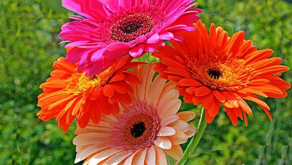 Розовые и оранжевые герберы фото