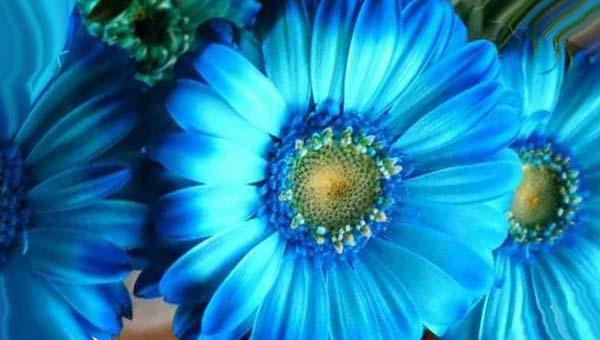 синие герберы