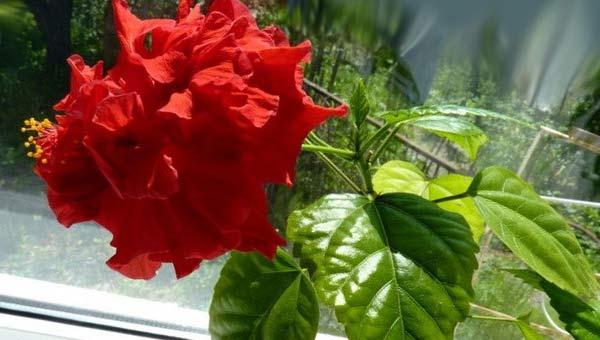 цветок гибискуса, китайская роза