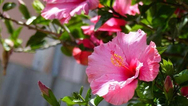 китайская роза розовая