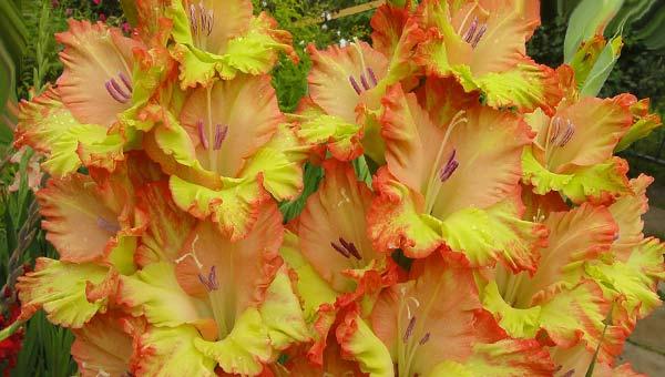 Желто-оранжевые гладиолусы