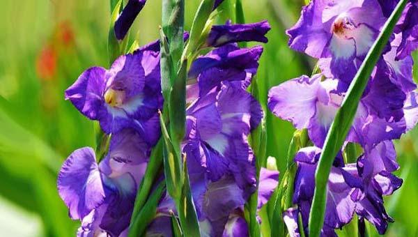 Фиолетовый шпажник