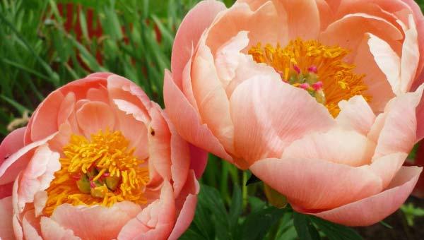 Оранжевые пионы фото