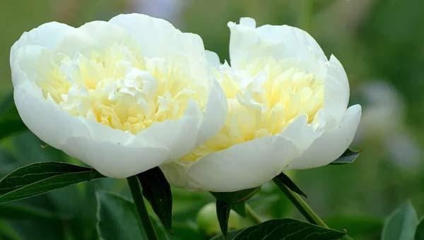 Белые пионы с желтой середкой